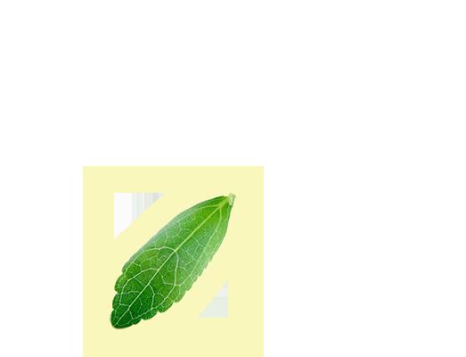 stevia alsó levél