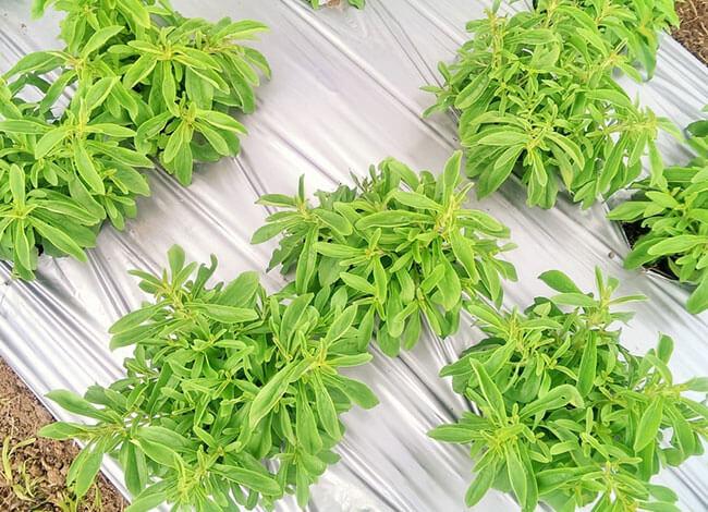 Stevia ültetvény
