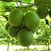 Szerzetes gyümölcs